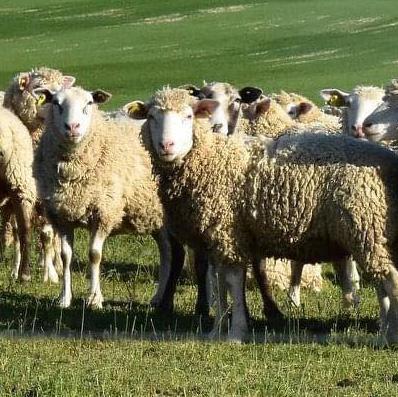 vente de colis d'agneau fermier