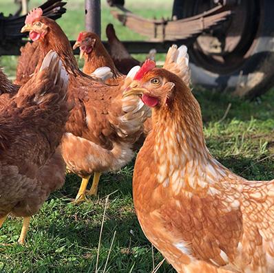 vente de poules pondeuses yonne